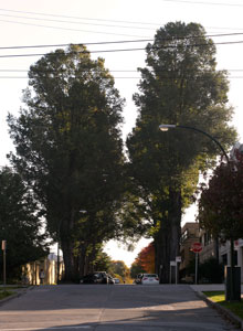 Smooth-leaved Elm in Kitsilano