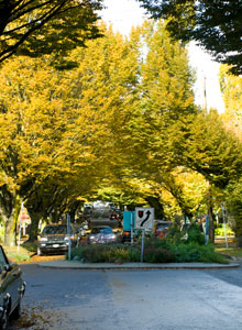 European Hornbeam on Trafalgar, Kitsilano