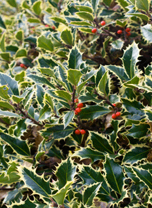 English Holly in Tatlow Park, Kitsilano