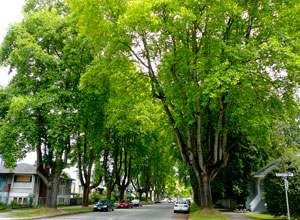 Tulip trees in 10th Avenue, Kitsilano