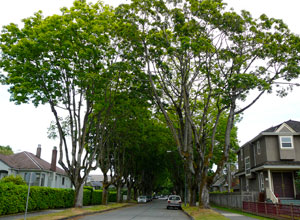 Maple trees in Kitsilano, Vancouver