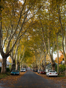 London Plane trees in Kitsilano